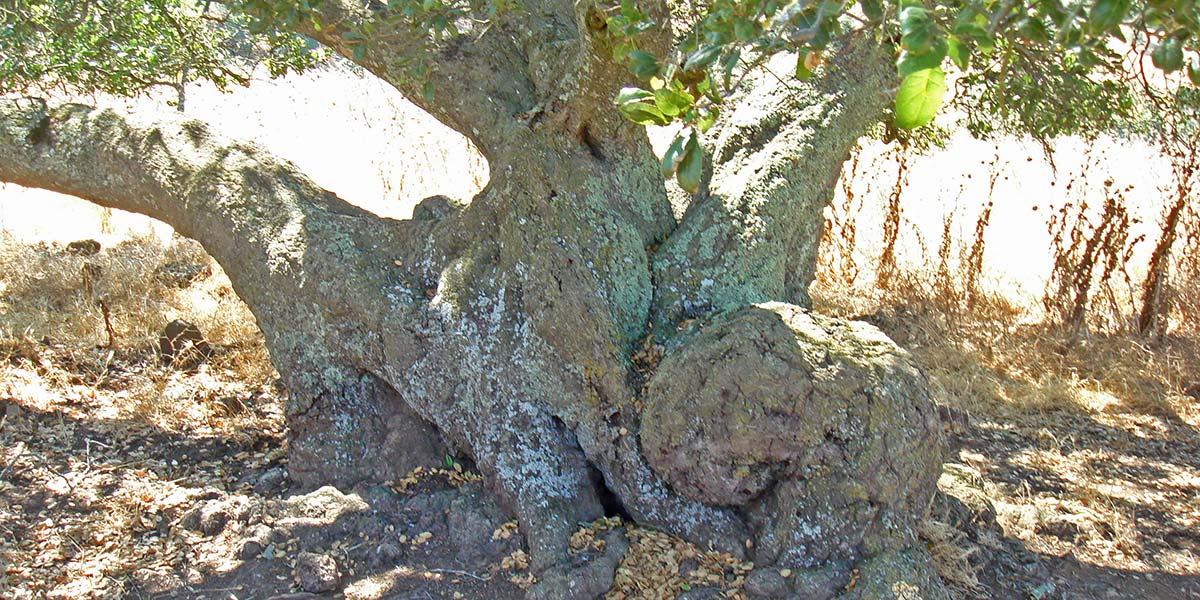 wide base of oak tree