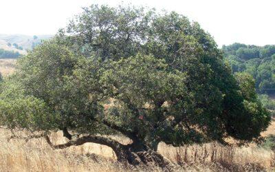 A Token of the Live Oak Tree