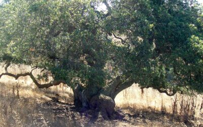 The Live Oak Tree Revisited